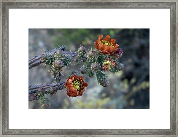 Staghorn Cholla Bloom Framed Print