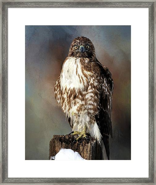 Stare Down With A Hawk Framed Print