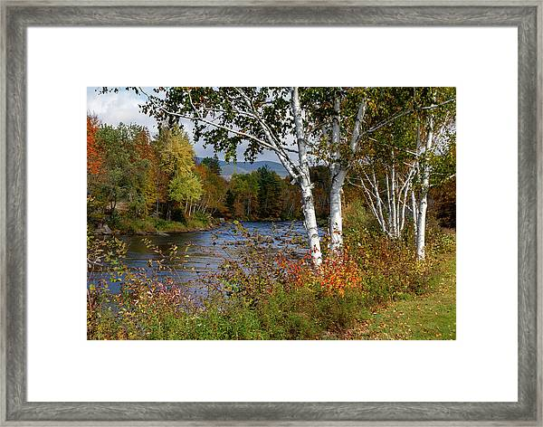 Stark, Nh Fall White Birch  Framed Print