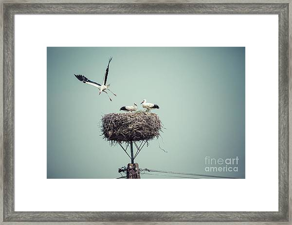 Stork With Baby Birds In The Nest Framed Print