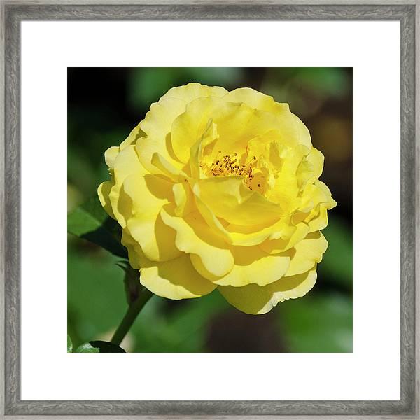 Striking In Yellow Framed Print