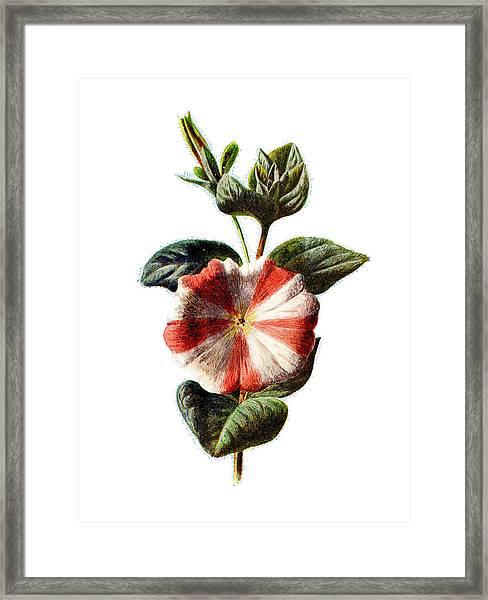 Stripped Petunia Flower Framed Print