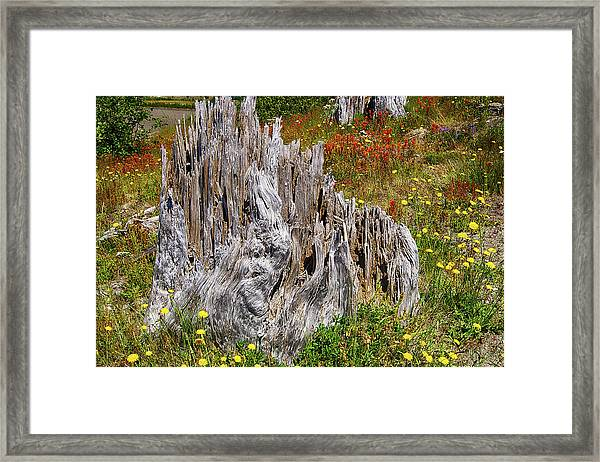 Stumps Of Trees Shattered In The 1980 Eruption Framed Print
