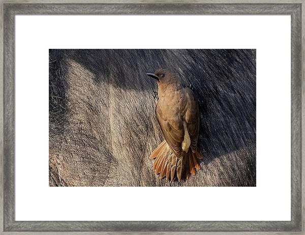 Sub-adult Yellow-billed Oxpecker On Cape Buffalo Framed Print