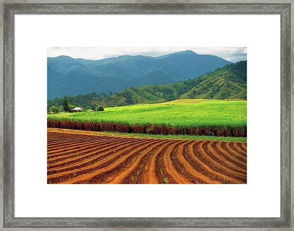 Sugar Cane Plantation Near Innisfail Framed Print