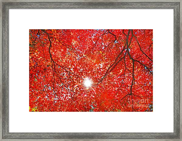 Sun Light Through The Red Fall Maple Framed Print
