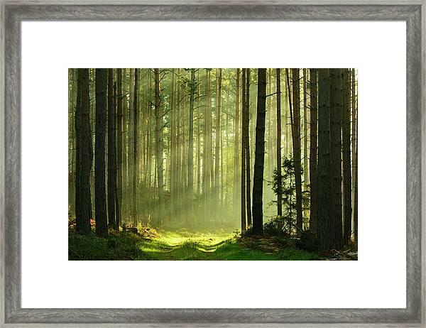 Sunbeams Breaking Through Pine Tree Framed Print