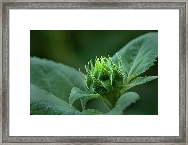 Sunflower Bud Framed Print