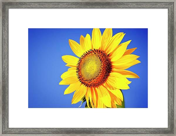 Sunflower Framed Print by Mbbirdy