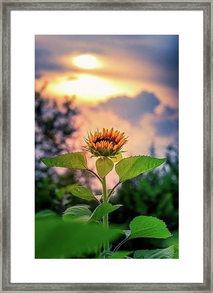 Sunflower Opening To The Light Framed Print