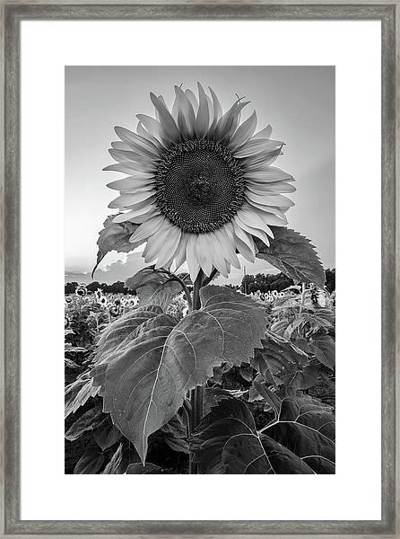 Sunflowers 10 Framed Print