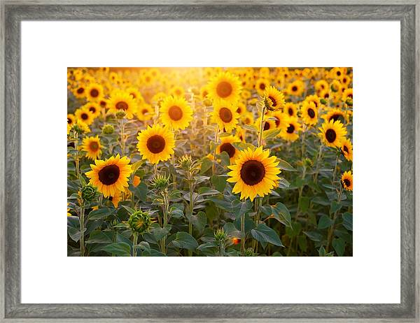 Sunflowers Field Framed Print