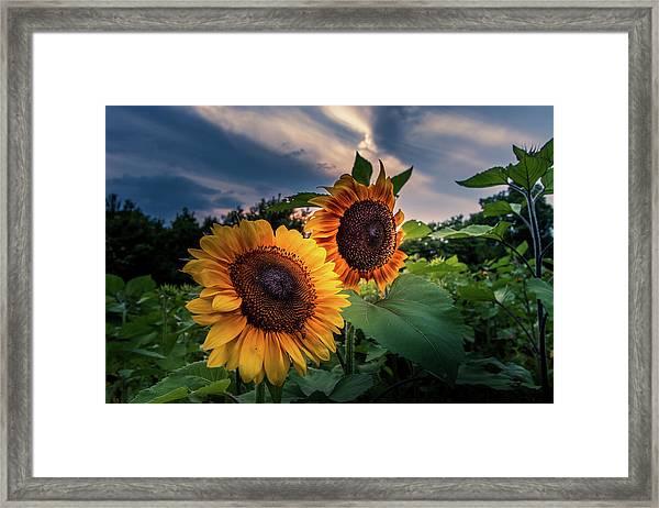 Sunflowers In Evening Framed Print