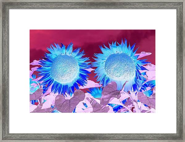 Sunflowers, Provence, France Framed Print