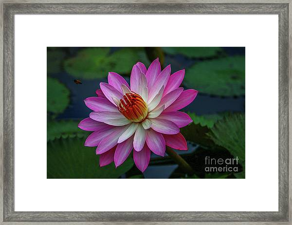 Framed Print featuring the photograph Sunlit Lily by Tom Claud