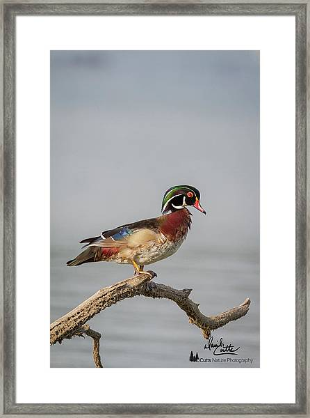 Sunny Day Wood Duck Framed Print