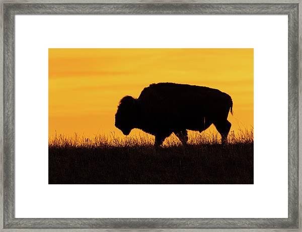 Sunrise Bison Framed Print