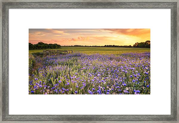 Sunset Over A Wild Flowers In Cornwall Framed Print