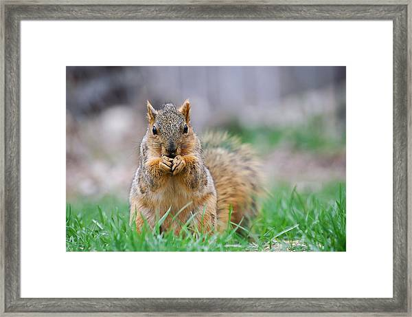 Super Cute Fox Squirrel Framed Print
