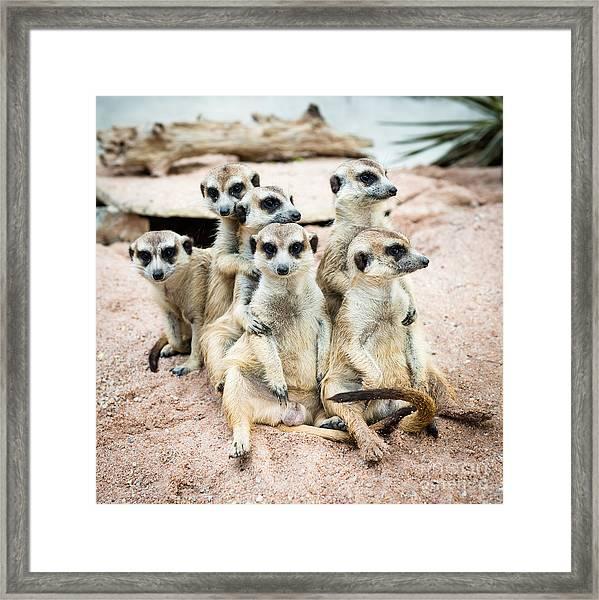 Suricate Or Meerkat Family Framed Print