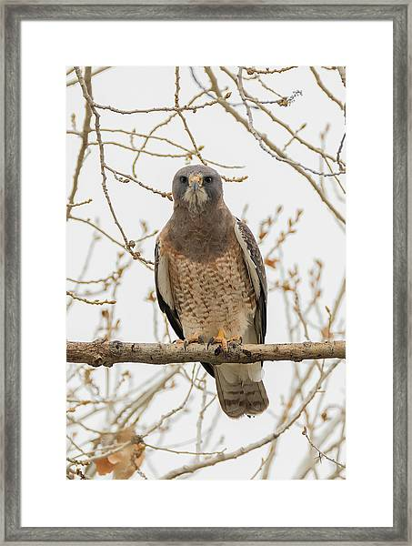Swainsons Hawk Looking At You Framed Print