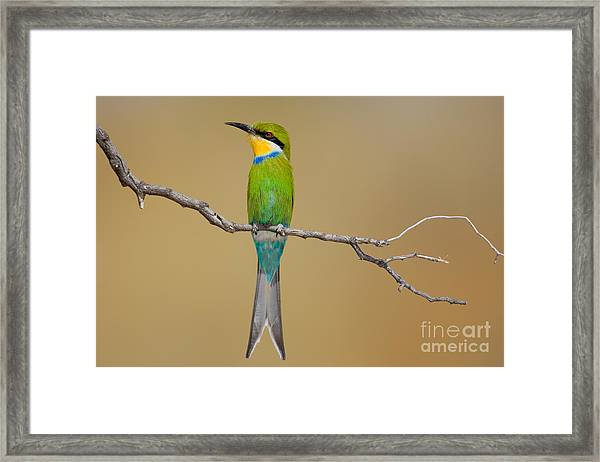 Swallow-tailed Bee-eater Merops Framed Print by Johan Swanepoel
