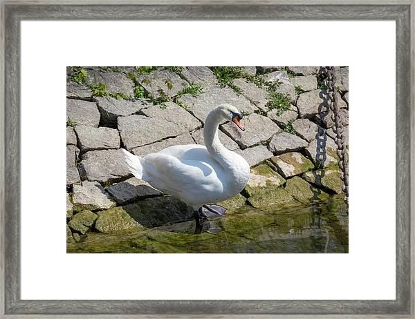 Swan Study 14 Framed Print