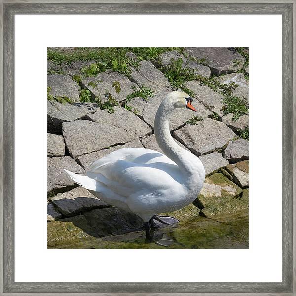 Swan Study 13 Framed Print