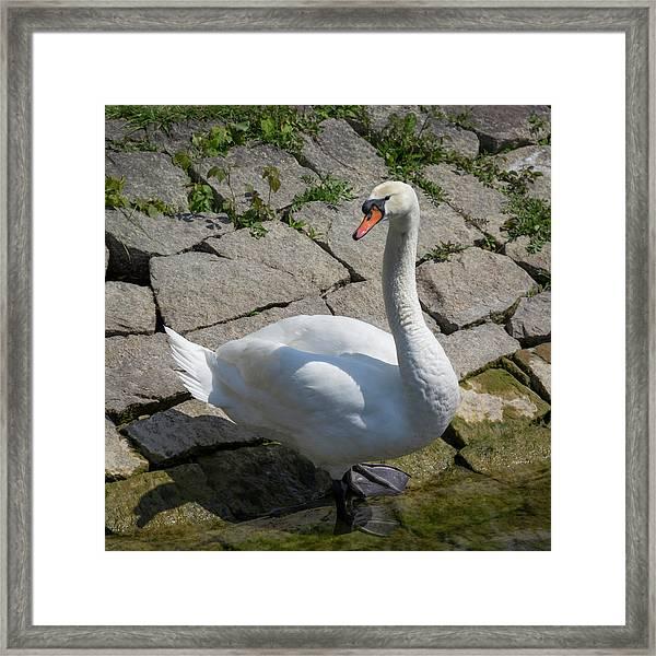 Swan Study 16 Framed Print