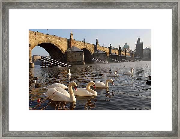 Swans And Charles Bridge Framed Print