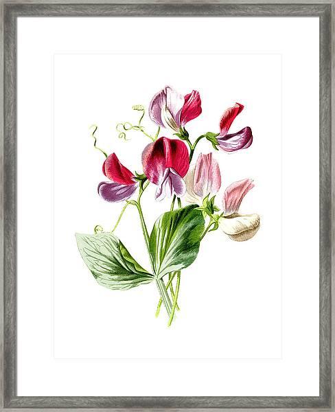 Sweet Pea Flower Framed Print
