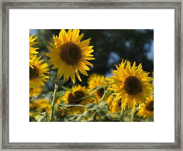 Sweet Sunflowers Framed Print