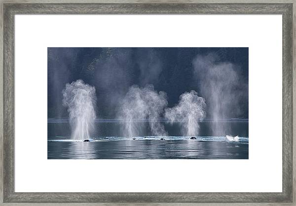 Synchronized Swimming Humpback Whales Alaska Framed Print