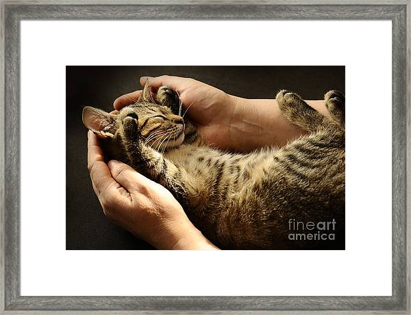 Tabby Cat In The Hands Of The Owner Framed Print