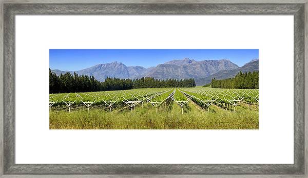 Table Grape Vineyard Saron, Western Framed Print