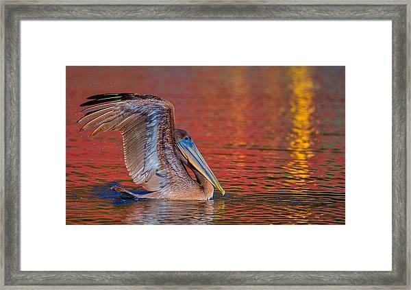 Tchefuncte Pelican Framed Print