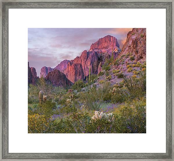 Teddy Bear Cholla And Saguaro, Kofa Framed Print