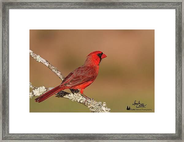 Texas Cardinal Framed Print