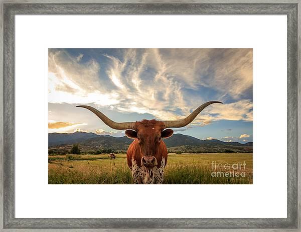 Texas Longhorn Steer In Rural Utah, Usa Framed Print