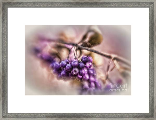 The American Beautyberry Framed Print
