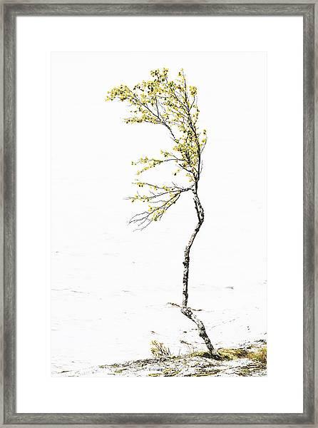 The Birch Tree Framed Print