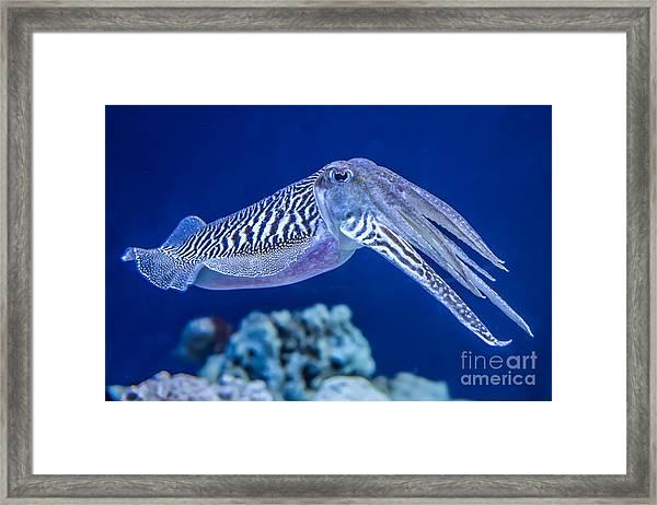 The Common European Cuttlefish Sepia Framed Print