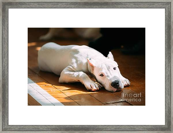 The Dogo Argentino Also Known As The Framed Print by Grisha Bruev