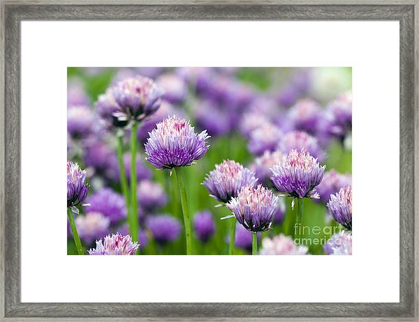 The Flower Of Garlic Photographed By A Framed Print