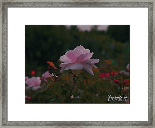 The Glowing Rose Framed Print