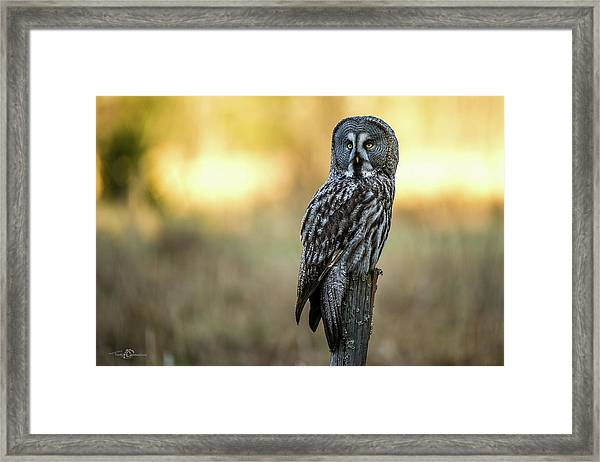 The Great Gray Owl In The Morning Framed Print