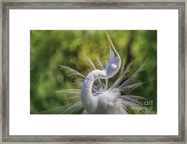 The Great White Egret Mating Dance Framed Print