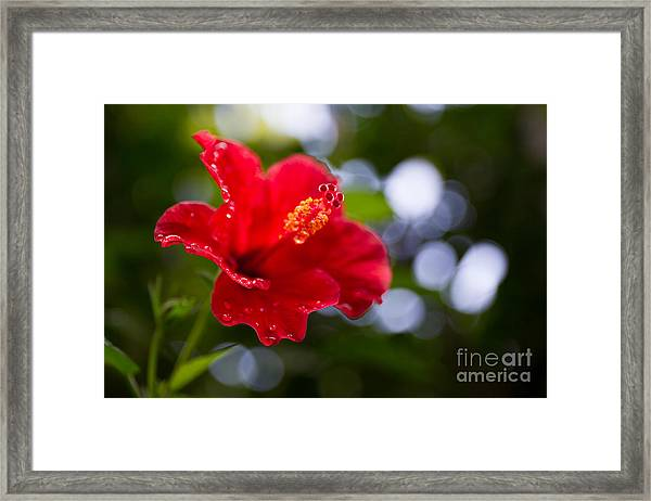 The Hibiscus Flower Close Up Framed Print by Chayatorn Laorattanavech