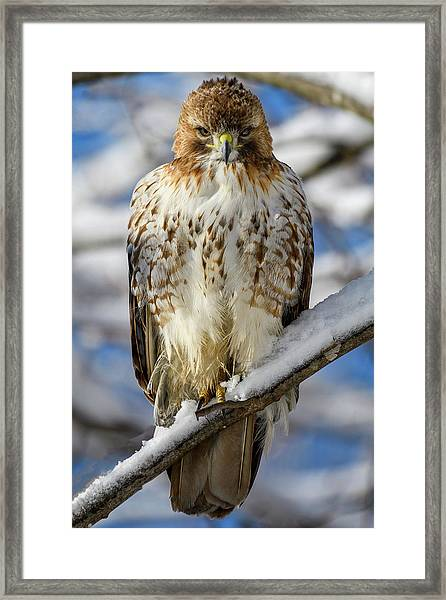 The Look, Red Tailed Hawk 1 Framed Print