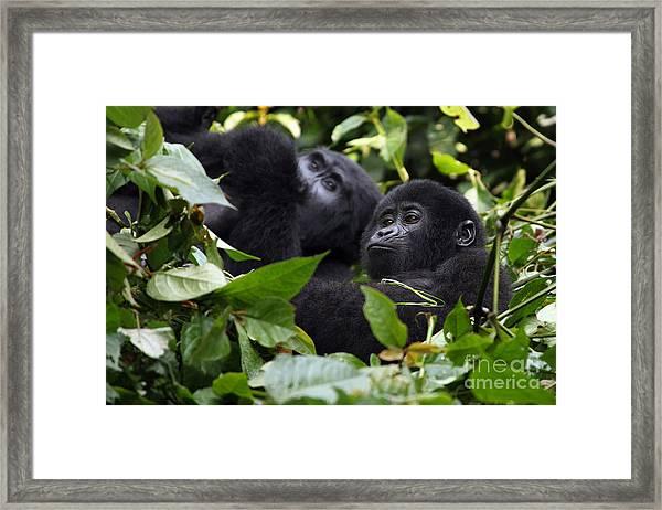The Mountain Gorilla Gorilla Beringei Framed Print